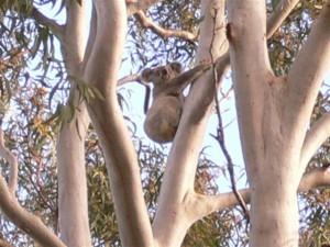 Koala in town