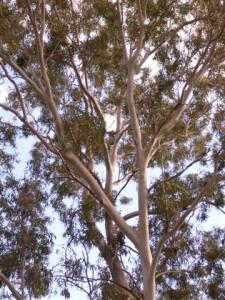 Koala with a view