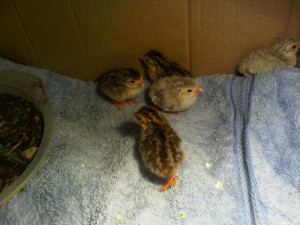 5 baby guineas